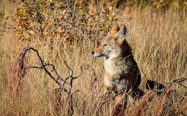 """Indiana coyote """"killing contest"""" makes headlines, puts pressure on hunters and DNR"""